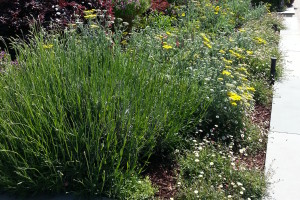 Drought-tolerant grass